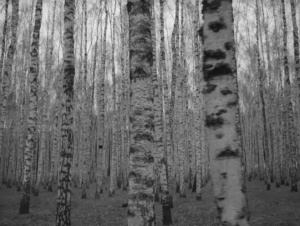 Birch_Tree_Forest