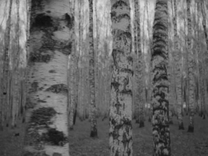 Birch_Tree_Forest2